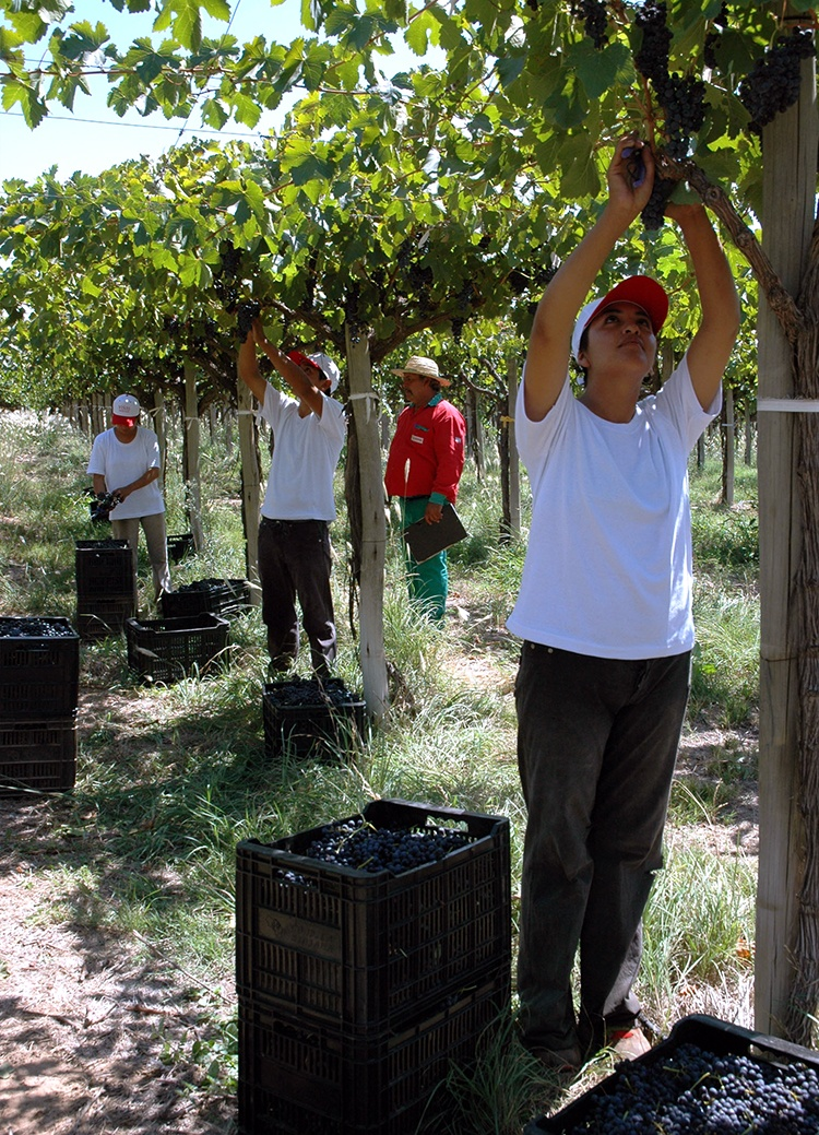 La Riojana Cooperative-Vineyard Student Workers Harvesting Grapes by Hand
